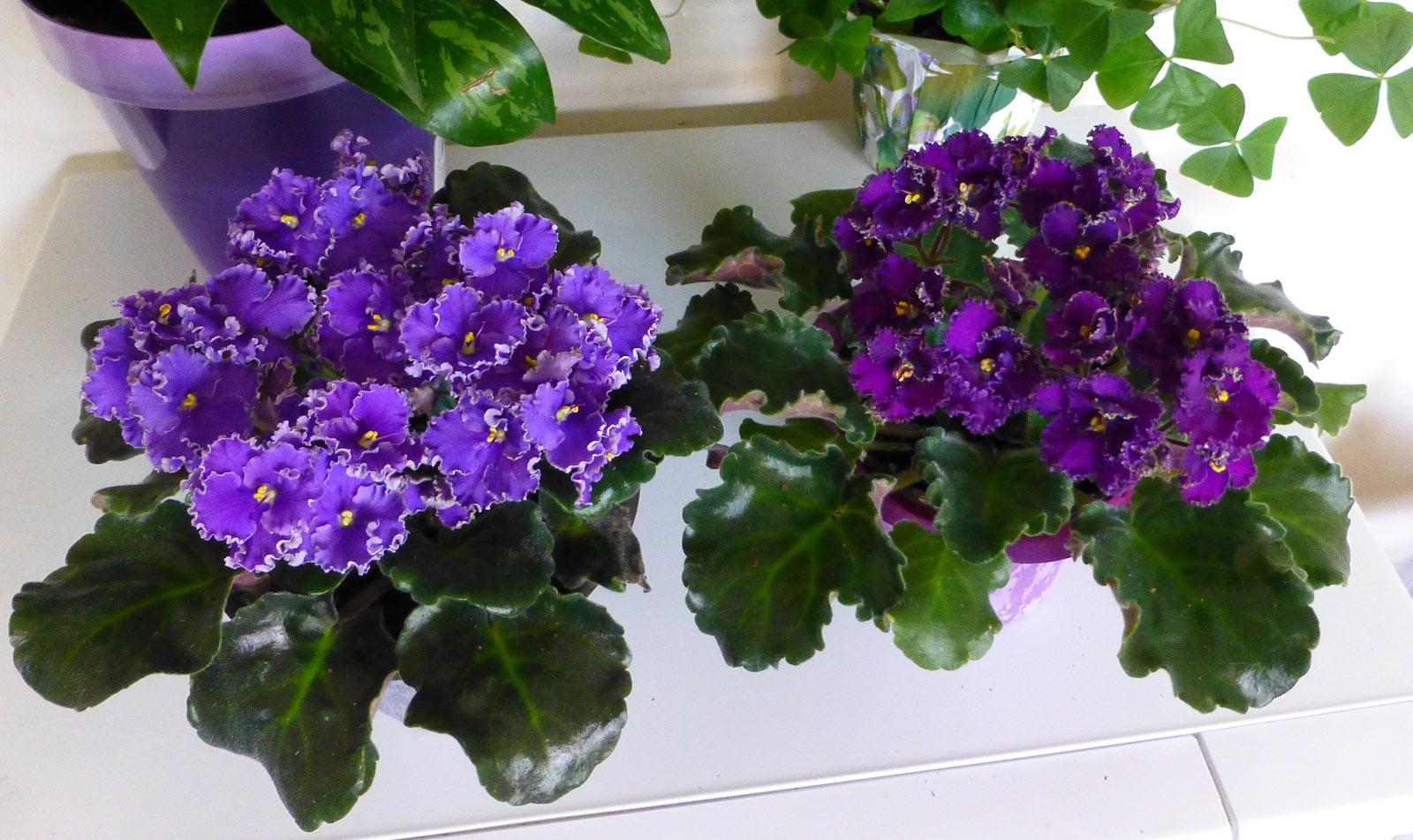 Violets 1st visit