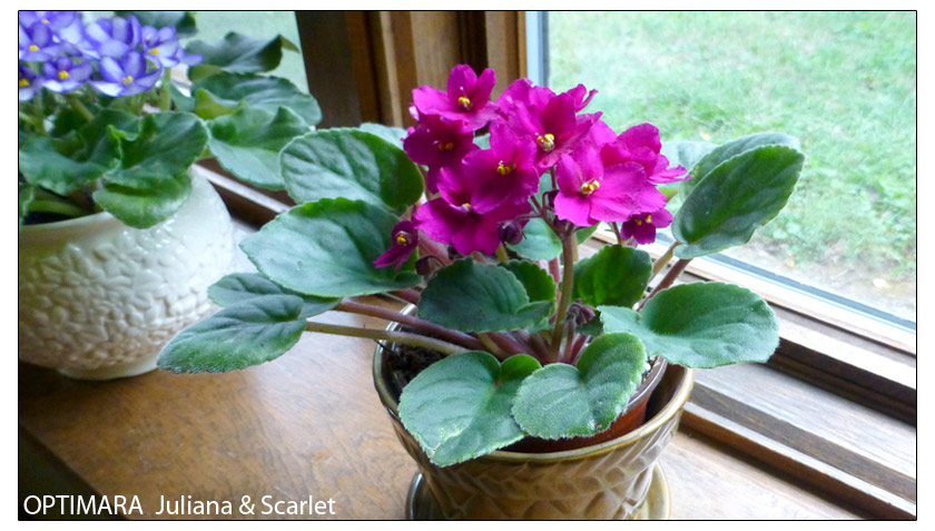 Indirect light is best for African Violets