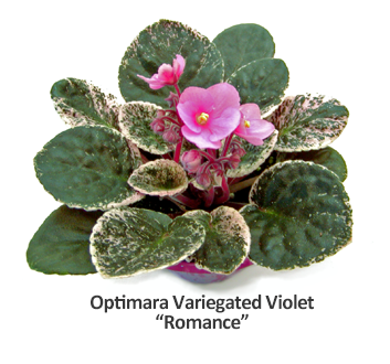 Optimara - Variegated Affection