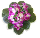 African Violets for Sale Online