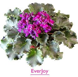 EverJoy Space Violet