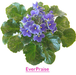 EverPraise Space Violet