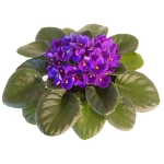 African Violets are healthy with Optimara fertilizer