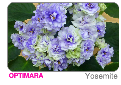 new African violet - Sequoia